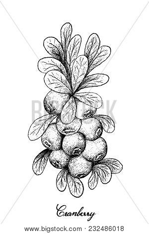 Berry Fruit, Illustration Hand Drawn Sketch Of Cranberries Isolated On White Background. High In Vit