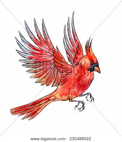 Flying Bird Cardinal, Hand Drawing, Sketch. An Image Of A Bird In Watercolor Isolated On White Backg