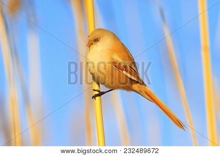 Cute Yellow Fluffy Bird Sits On A Reed, Wild Birds, Animals In The Biotope