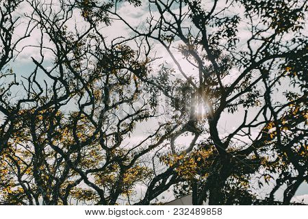 View From Bottom Of The Silhouettes Of A Back Lighted Branchy Trees Crowns Looking Like Multiple Cra