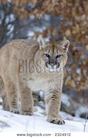 Cougar In Snowfall