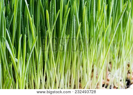 Detail Of Freshly Grown Young Wheatgrass Blades