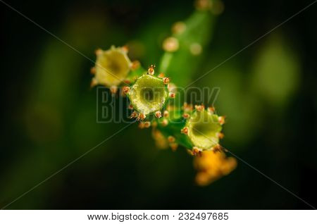 Yellow Prickly Pear Cactus Fruit On Dark Background.