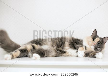 A Beautiful Fluffy Cat Is Lying And Looking At You