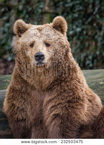 The Brown Bear (ursus Arctos) Is A Bear That Is Found Across Much Of Northern Eurasia And North Amer