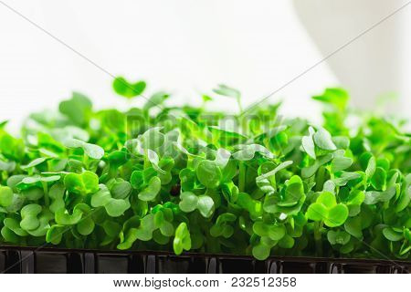 Young Fresh Sprouts of Potted Water Cress Growing Indoors on Kitchen Window-Sill. Soft Daylight White Curtain in the Background. Gardening Plant Based Diet Food Garnish. Copy Space poster