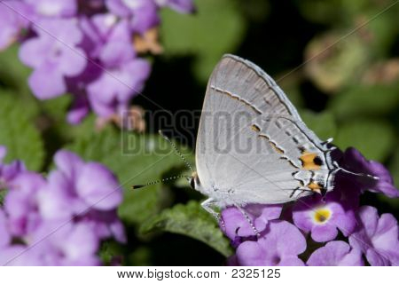 Tail Fake Eye White Butterfly sitting on Pink Flowers in Garden; Close-up poster