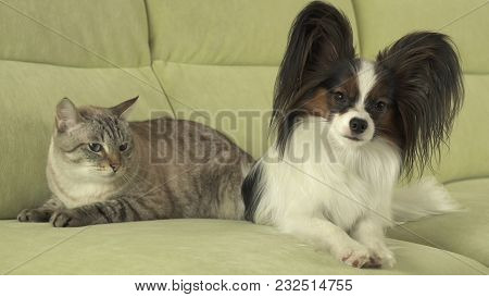Dog Papillon With A Cat Thai Relationship