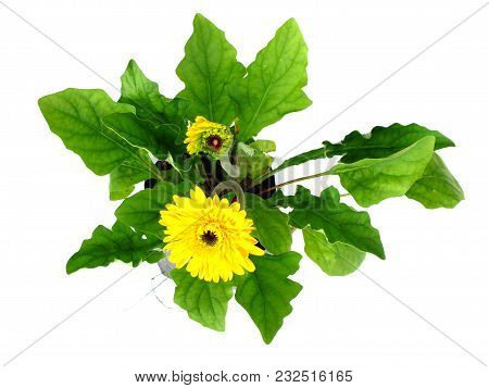 Yellow Gerbera Daisy Flower Isolated On White Background
