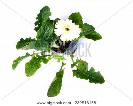White Gerbera Daisy Flower Isolated On White Background