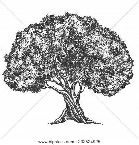 Olive Tree Hand Drawn Vector Illustration Realistic Sketch.
