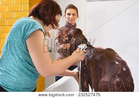 Pet Groomer Washing Dog Setter From The Shower At Salon