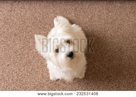 West Highland White Terrier Sits At Home On The Carpet .