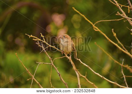 House Sparrow Sitting On A Branch, Pune, Maharashtra.
