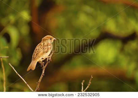 House Sparrow Sitting On A Branch At Pune, Maharashtra.