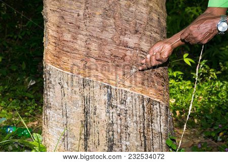 Milky latex extracted from rubber tree (Hevea Brasiliensis) as a source of natural rubber. Plantations of rubber plants in Weligama,  Sri Lanka.