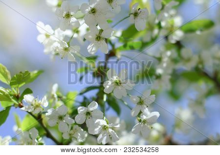 Early Spring Cherry Tree Bllossom With Tender White Flowers Shot In Contra Light