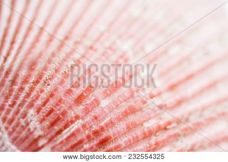 Natural Background. Close-up Part Of Surface Of Bright Pink Seashell With Relief Strips.