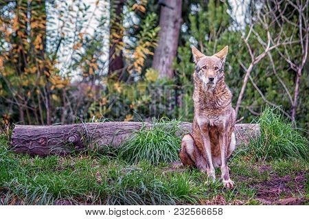 Red Wolf Sitting In Grass In Front Of A Log