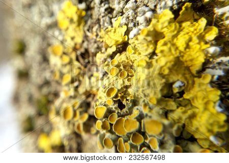 Yellow lichen sunlight  close-up blurred background biology cyanobacteria poster