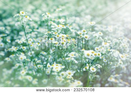 Beautiful Flowering In Spring - Daisy Flower (wild Chamomile)
