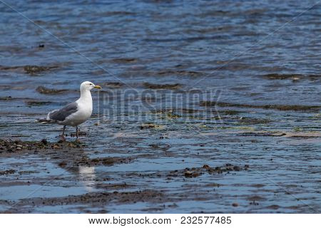 Seagull Standing Over Shallow Tide Pools Hunting