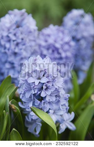 One Beautiful Blue Hyacinths In The Spring Garden
