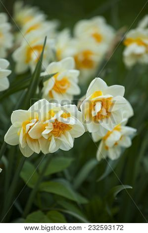 Spring Garden With Unusual Daffodils In The Meadow In Front Of The Camera.macro Focus On The Flower