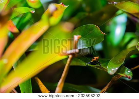 A Mimic Poison Frog Sitting On A Leave. (dendrobates Imitator) Also Known As Ranitomeya Imitator Or