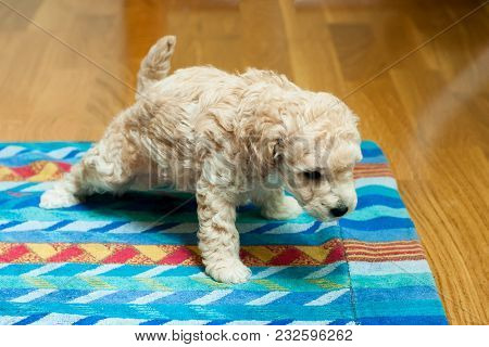 Beige Puppy Pisses On A Multi-colored Bedding In The Room