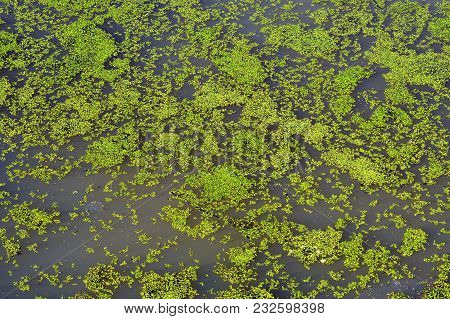 Water Pond Covered With Algae Texture Background