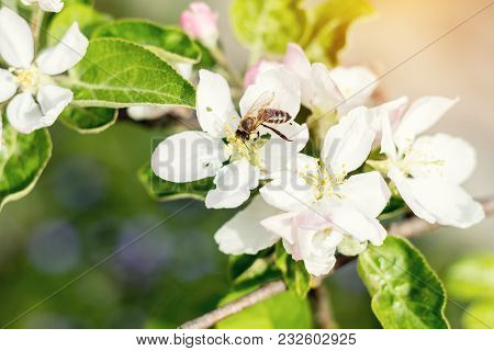 Bee Collects Nectar And Flies. Apple Tree Blooming On The Springtime. Sunny Day.  Close Up, Shallow