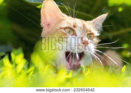 Cute White-red Cat In A Red Collar Relax On The Garden Of Green Grass, Close Up, Shallow Depth Of Fi