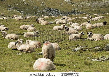 Flock Of Sheep. Flock Of Sheep On A Mountain Slope