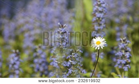 Beautiful Blooming Meadow In Spring With Purple Colors In The Background And A White Daisy In The Fo
