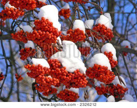 Frozen And Bird-Pecked Ashberries