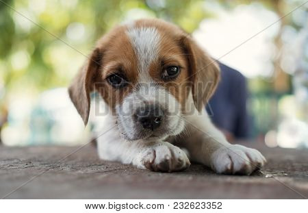 Portrait Of Small Cute Puppy Dog Looking At Camera
