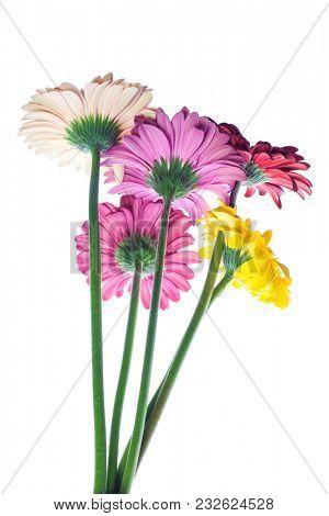 Fresh gerber isolated on white background. Summer flowers