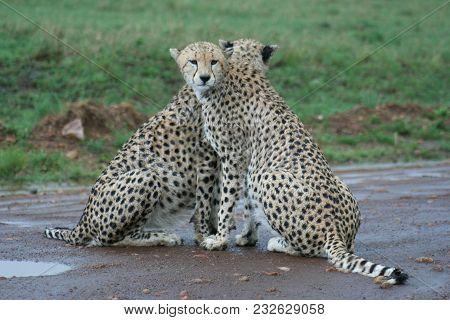 Cheetahs(acinonyx Jubatus) Duma During Rainy Season In Masai Mara.