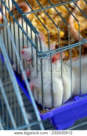 The White Mouse Sits In A Cage And Sticks Out The Spout And Paws Through The Cage To The Outside