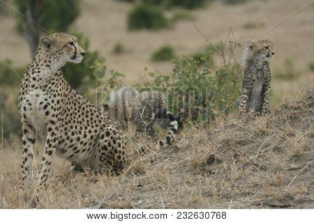 Cheetah And Cubs( Acinonyx Jubatus) Duma In Masai Mara In Kenya.