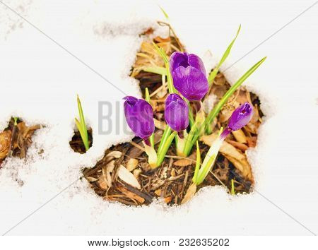 Cluster Of Bright Yellow Crocus Flowers And Green Leaves Emerging Through Snow