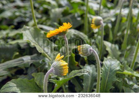 Closeup Of Yellow Budding Gerbera Flowers With Hairy Stems In A Dutch Cut Flower Nursery.