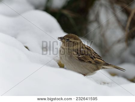 House Sparrow - Passer Domesticus Female In Snow