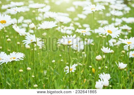 Chamomile Flowers Field In Sun Ligh. Beautiful Nature Scene. Daisies Summer Background.