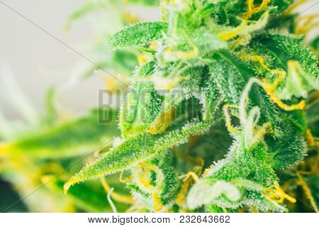 Macro Shot Buds Cannabis On Weed With Sugar Trichomes. Concepts Of Grow And Use Of Marijuana Trichom