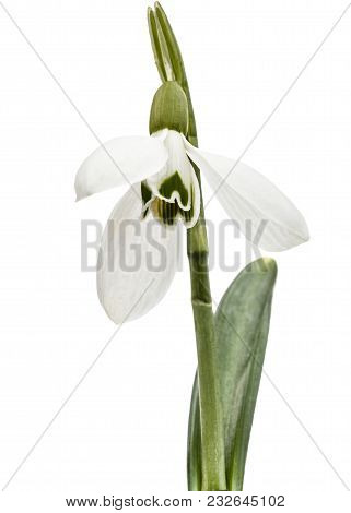 Flower Of Snowdrop Isolated On White Background