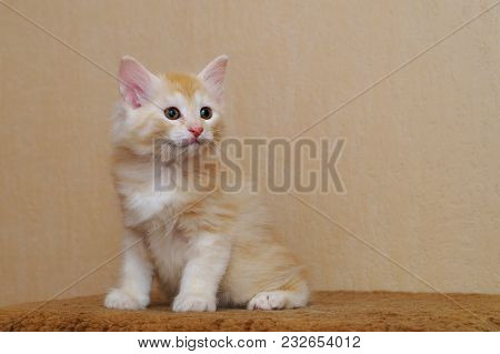 Lovely Redhead Kitten. Long-haired Breed Of Cats. Home Life Of Pets