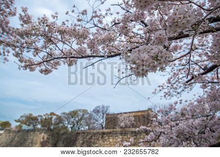 Pink Sakura (cherry Blossom) Blooming On A Branch Of Tree With Sky View, Spring Traveling In Japan