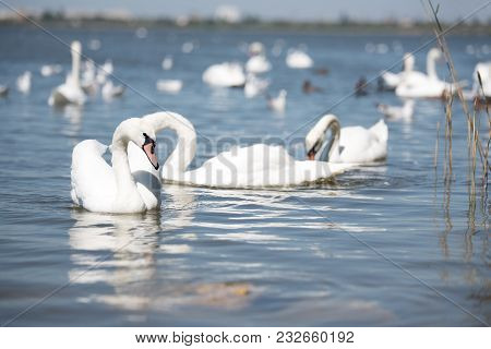 Peaceful Graceful Swans Swimming In Lake In Sunny Day.